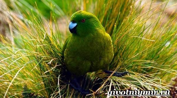 Какарик-попугай-Образ-жизни-и-среда-обитания-попугая-какарик-1