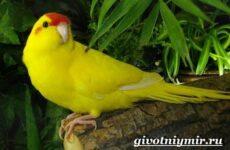 Какарик попугай. Образ жизни и среда обитания попугая какарик