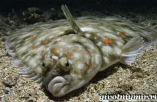 Камбала рыба. Образ жизни и среда обитания рыбы камбалы