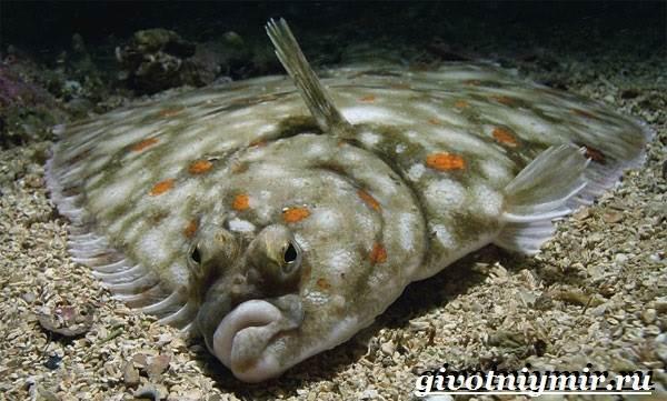 Камбала-рыба-Образ-жизни-и-среда-обитания-рыбы-камбалы-1