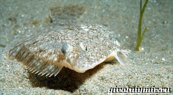 Камбала-рыба-Образ-жизни-и-среда-обитания-рыбы-камбалы-2