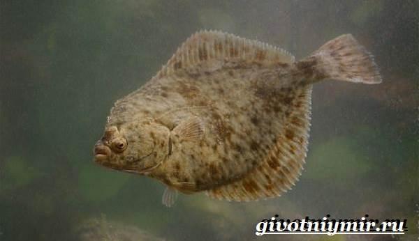 Камбала-рыба-Образ-жизни-и-среда-обитания-рыбы-камбалы-5