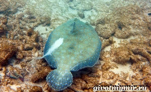 Камбала-рыба-Образ-жизни-и-среда-обитания-рыбы-камбалы-6