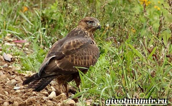 Канюк-птица-Образ-жизни-и-среда-обитания-птицы-канюк-1