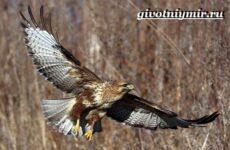 Канюк птица. Образ жизни и среда обитания птицы канюк