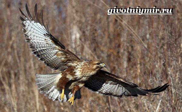 Канюк-птица-Образ-жизни-и-среда-обитания-птицы-канюк-2