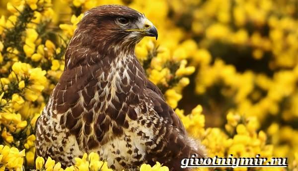 Канюк-птица-Образ-жизни-и-среда-обитания-птицы-канюк-4