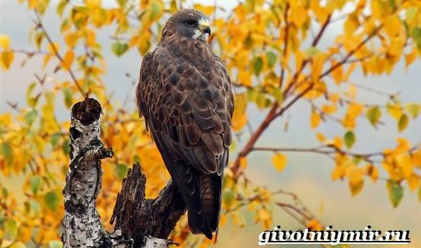 Канюк-птица-Образ-жизни-и-среда-обитания-птицы-канюк-5