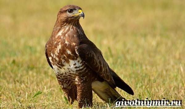 Канюк-птица-Образ-жизни-и-среда-обитания-птицы-канюк-6