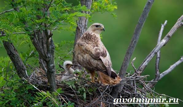 Канюк-птица-Образ-жизни-и-среда-обитания-птицы-канюк-8
