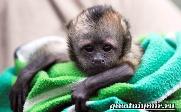 Капуцин-обезьяна-Образ-жизни-и-среда-обитания-обезьяны-капуцин-10