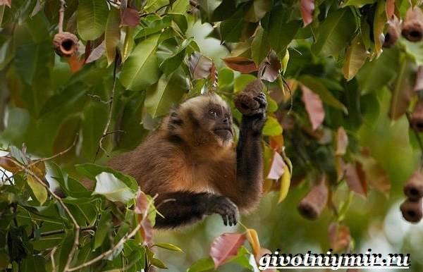 Капуцин-обезьяна-Образ-жизни-и-среда-обитания-обезьяны-капуцин-2