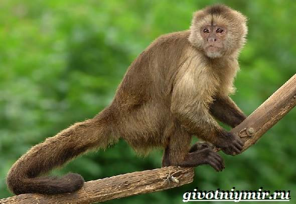 Капуцин-обезьяна-Образ-жизни-и-среда-обитания-обезьяны-капуцин-3