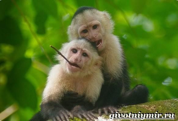 Капуцин-обезьяна-Образ-жизни-и-среда-обитания-обезьяны-капуцин-4