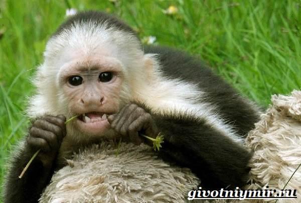 Капуцин-обезьяна-Образ-жизни-и-среда-обитания-обезьяны-капуцин-5