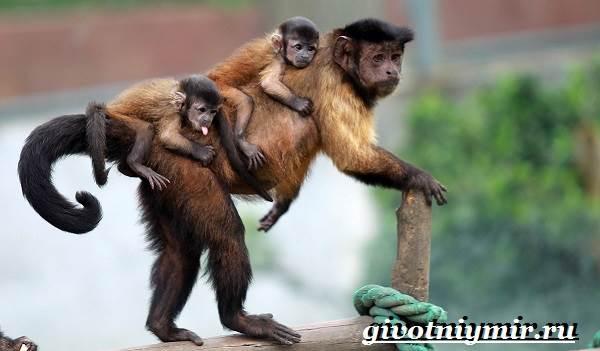 Капуцин-обезьяна-Образ-жизни-и-среда-обитания-обезьяны-капуцин-6