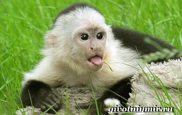 Капуцин-обезьяна-Образ-жизни-и-среда-обитания-обезьяны-капуцин-7