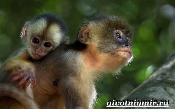 Капуцин-обезьяна-Образ-жизни-и-среда-обитания-обезьяны-капуцин-8