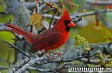 Кардинал птица. Образ жизни и среда обитания птицы кардинал
