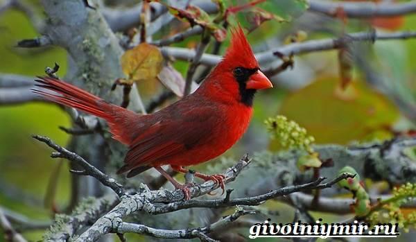 Кардинал-птица-Образ-жизни-и-среда-обитания-птицы-кардинал-1