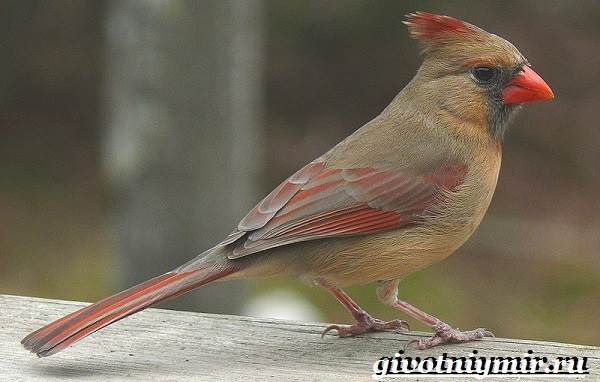 Кардинал-птица-Образ-жизни-и-среда-обитания-птицы-кардинал-2