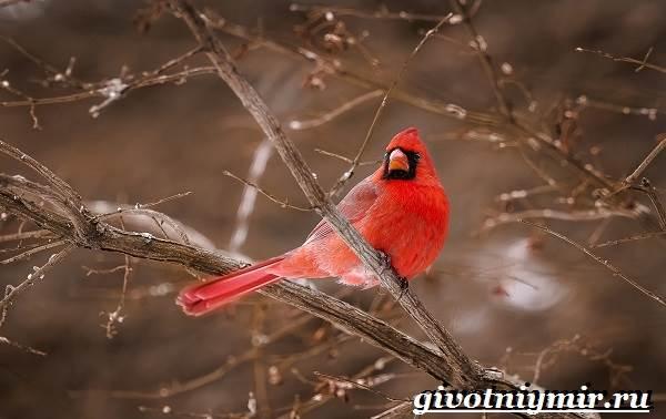 Кардинал-птица-Образ-жизни-и-среда-обитания-птицы-кардинал-3