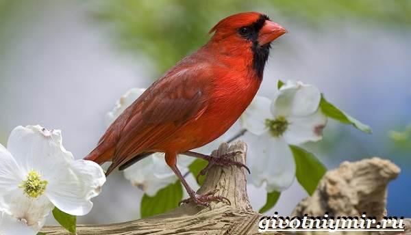 Кардинал-птица-Образ-жизни-и-среда-обитания-птицы-кардинал-4