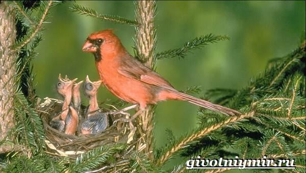 Кардинал-птица-Образ-жизни-и-среда-обитания-птицы-кардинал-7