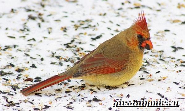 Кардинал-птица-Образ-жизни-и-среда-обитания-птицы-кардинал-8