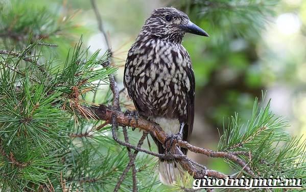 Кедровка-птица-Образ-жизни-и-среда-обитания-птицы-кедровки-1