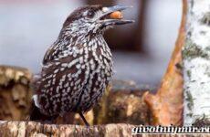 Кедровка птица. Образ жизни и среда обитания птицы кедровки