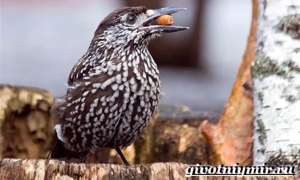 kedrovka-ptica-obraz-zhizni-i-sreda-obitaniya-pticy-kedrovki-6