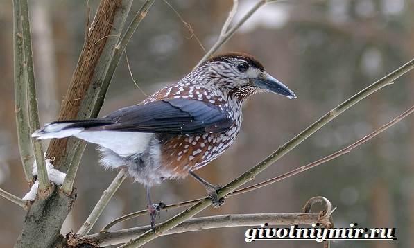 kedrovka-ptica-obraz-zhizni-i-sreda-obitaniya-pticy-kedrovki-7