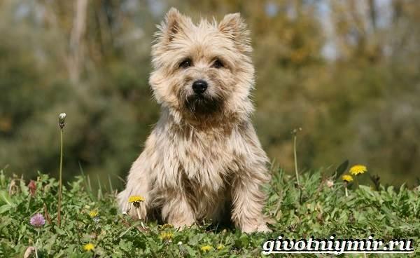 Керн-терьер-собака-Описание-особенности-уход-и-цена-керн-терьера-1