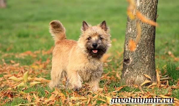 Керн-терьер-собака-Описание-особенности-уход-и-цена-керн-терьера-3