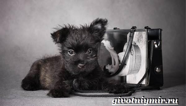 Керн-терьер-собака-Описание-особенности-уход-и-цена-керн-терьера-7