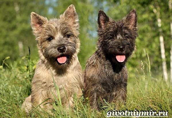 Керн-терьер-собака-Описание-особенности-уход-и-цена-керн-терьера-8
