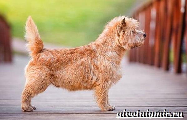 Керн-терьер-собака-Описание-особенности-уход-и-цена-керн-терьера-9