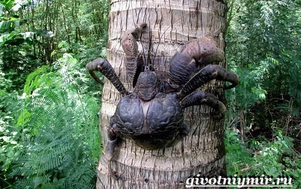 Кокосовый-краб-Образ-жизни-и-среда-обитания-кокосового-краба-2