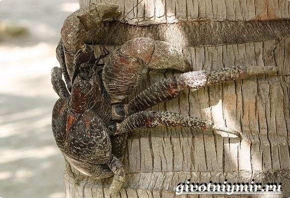 Кокосовый-краб-Образ-жизни-и-среда-обитания-кокосового-краба-4