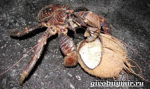 Кокосовый-краб-Образ-жизни-и-среда-обитания-кокосового-краба-6