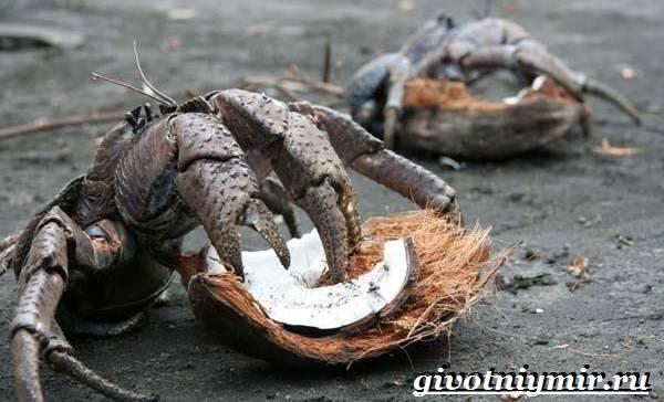 Кокосовый-краб-Образ-жизни-и-среда-обитания-кокосового-краба-7