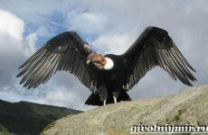 Кондор птица. Образ жизни и среда обитания птицы кондор
