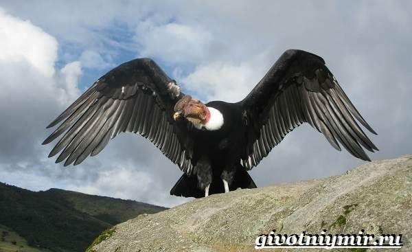Кондор-птица-Образ-жизни-и-среда-обитания-птицы-кондор-1