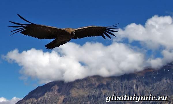 Кондор-птица-Образ-жизни-и-среда-обитания-птицы-кондор-2
