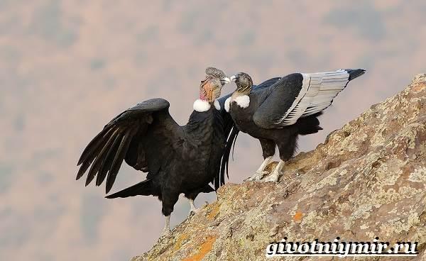 Кондор-птица-Образ-жизни-и-среда-обитания-птицы-кондор-5