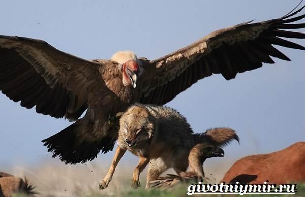 Кондор-птица-Образ-жизни-и-среда-обитания-птицы-кондор-6