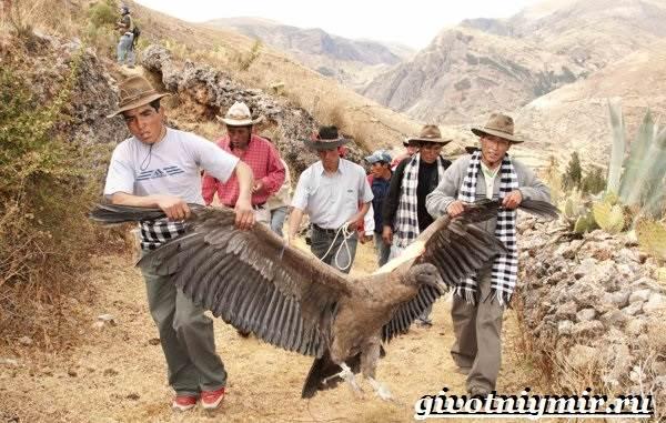 Кондор-птица-Образ-жизни-и-среда-обитания-птицы-кондор-7