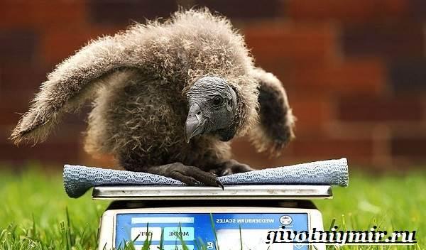 Кондор-птица-Образ-жизни-и-среда-обитания-птицы-кондор-8