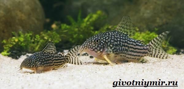 Коридорас-рыба-Описание-особенности-уход-и-цена-рыбы-коридорас-1